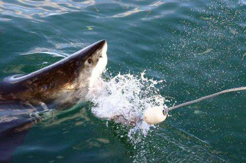 Sharks: Bad creatures or bad image?