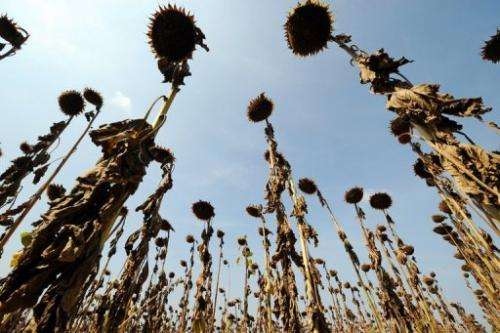 Sunflowers in Toulouse, France, in September 2012, dried out due to a lack of rain