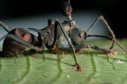 The zombie-ant fungus is under attack, research reveals
