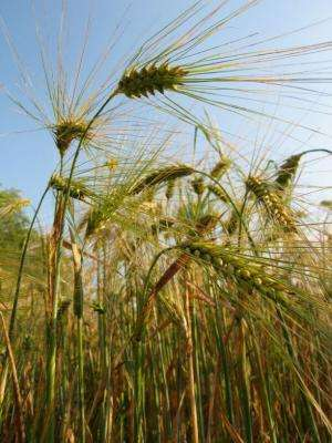 UA Geneticists Help Solve Barley Genome Puzzle