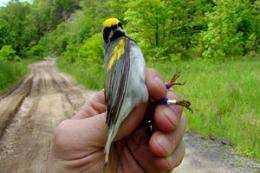 Saving habitat key to songbird's survival