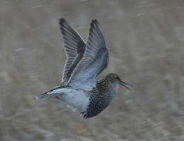 You snooze, you lose: Less sleep leads to more offspring in male pectoral sandpipers