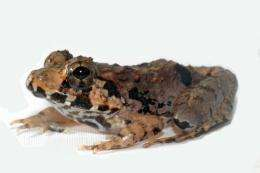 A new species of Frog discovered in Malaysia is pictured