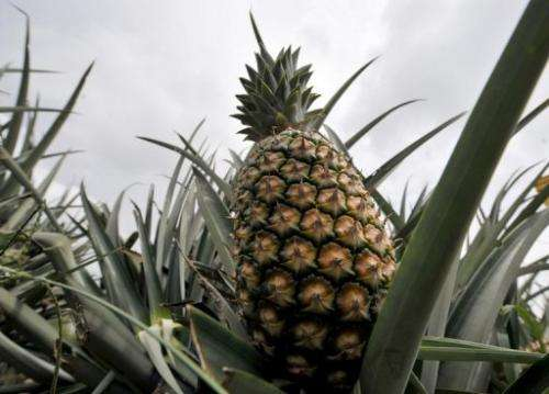 """Australian researchers have developed a """"pina colada"""" pineapple"""
