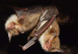 Caught in the act: Bats use the sound of copulating flies as a cue for foraging