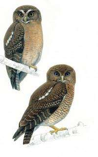 2 new owls discovered in the Philippines