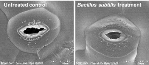 Researchers show how probiotics boost plant immunity