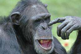 Researchers link wild chimpanzee gestures to language evolution