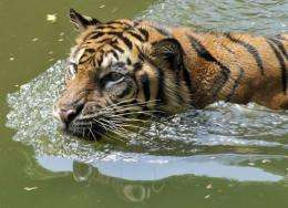 There are fewer than 400 Sumatran tigers left in the wild, activists say