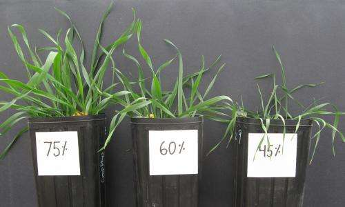 AgriLife Research scientist: Soil-water profile key to wheat root system, drought survivability