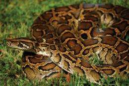 Scientists discover new threat to birds posed by invasive pythons