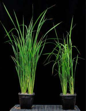 A better route to xylan: Researchers find new access to abundant biomass for advanced biofuels