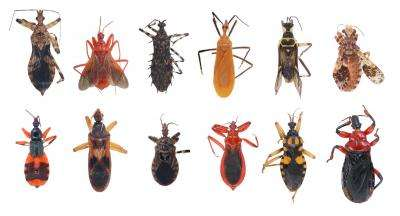 A clearer picture of how assassin bugs evolved