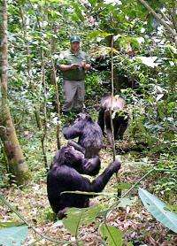 Adolescent male chimps in large community strive to be alphas