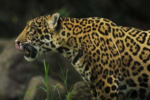 A jaguar is seen in a zoo in San Salvador
