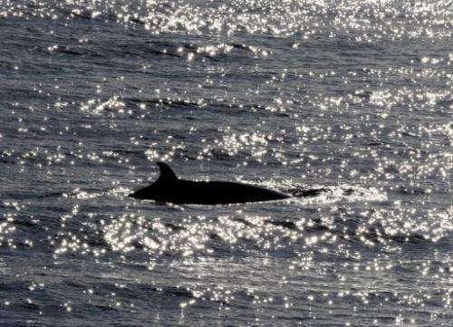 A Minke whale surfaces in the ocean off the coast near Sydney in 2010