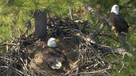 Among the eagles: deadbeat dads, nest intrusions and cheating wives