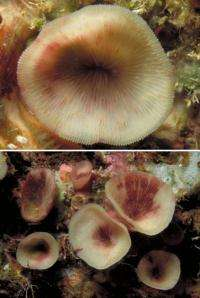 A new cave-dwelling reef coral discovered in the Indo-Pacific