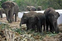 AP Exclusive: New taste for Thai elephant meat (AP)