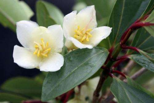 A picture released by the IUCN shows a new flowering plant belonging to the scarce Medinilla plant group