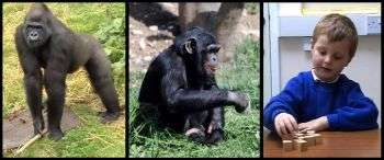 A predominance to be right-handed is not a uniquely human trait, but one shared by great apes,