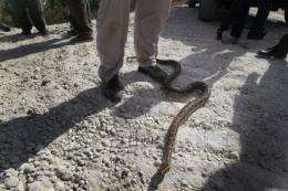 A Python snake is shown to the media
