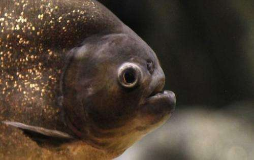 A red-bellied piranha in the aquarium of the Dubai Mall in September 2010