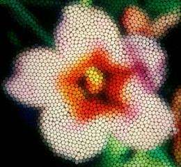 Australian researchers show flower color evolution driven by bee preferences
