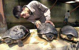 A worker with river terrapins in Indonesia. Scientists in Bangladesh have bred 25 of the critically endangered species