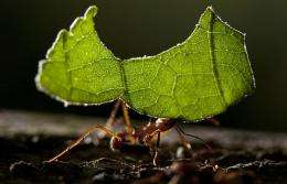 Bacteria tend leafcutter ants' gardens