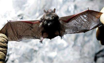 Bats rebound in NY caves first hit by white-nose (AP)