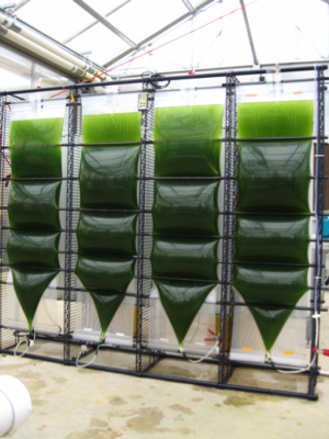 Biofuels from algae hold potential, but not ready for prime time