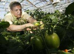 Blossom end rot plummets in Purdue-developed transgenic tomato