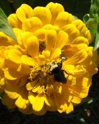 Bumblebees do best where there is less pavement and more floral diversity
