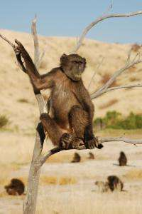 Foraging baboons are picky punters