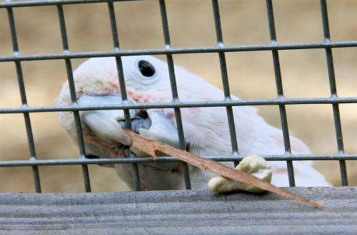 Cockatoo 'can make its own tools'
