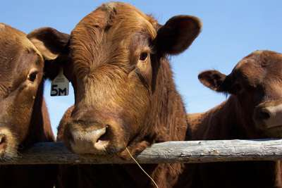 Cornell offers only U.S. salmonella dublin test for cattle