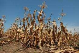 Corn plants struggle to survive in a drought-stricken farm field on July 19 near Oakton, Indiana