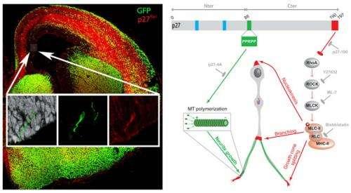 Cortex development depends on a protein