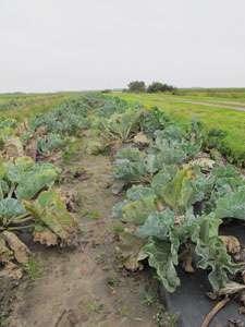 Cultivation of salt-tolerant crops a goal of 'Silt Farming Project'