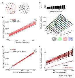 Branching out: A mathematical law of dendritic connectivity