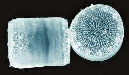 Diatom biosensor could shine light on future nanomaterials