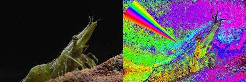 High definition polarization vision discovered in cuttlefish