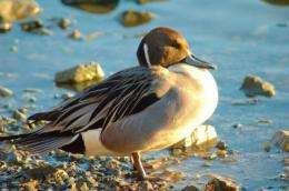 Ducks flock to Extremadura thanks to its ricefields