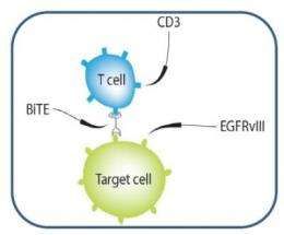 New immune therapy successfully treats brain tumors in mice
