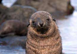 Energy requirements make Antarctic fur seal pups vulnerable to climate change