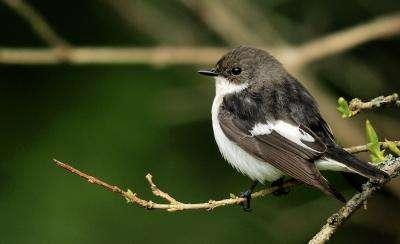 Flycatchers' genomes explain how 1 species became 2
