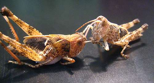 From solo to sociable--how locusts try to avoid cannibalism