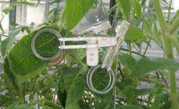 Galapagos tomato provides key to making cultivated tomatoes resistant to whitefly