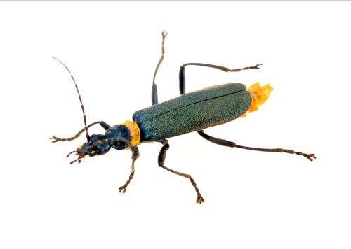 Gene find turns soldier beetle defence into biotech opportunity